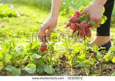 Find Woman Gardening Picking Radishes stock images in HD and millions of other royalty-free stock photos, illustrations and vectors in the Shutterstock collection. Splash Images, Grow Your Own Food, Photo Editing, Royalty Free Stock Photos, Fruit, Plants, Gardening, Women, Vegetable Garden