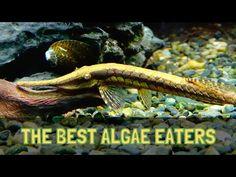 THE BEST ALGAE EATERS FOR AQUARIUMS - YouTube
