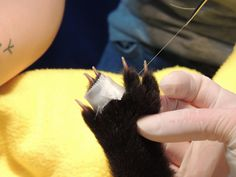 Black Bear cub #13-0425 | The Wildlife Center of Virginia