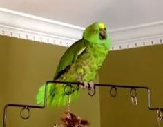 For Mary's birthday:  Poncho the Parrot sings the Hail Mary