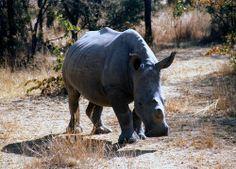 Sub-adult white rhino