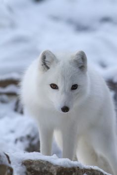 Curious Arctic Fox by Mark Dumont on 500px*