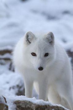 Curious Arctic Fox by Mark Dumont**