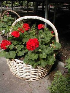 Geraniums...how she loved pretty flowers...