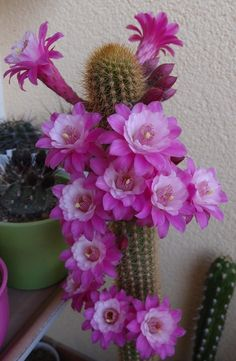 Photographs blooming cactus plants Strategies Succulents along with cacti are classified as the fantastic residence furnishings to get minimalists in addit Planting Succulents, Blooming Cactus, Bloom, Unusual Flowers, Love Flowers, Plants, Cacti And Succulents, Desert Flowers, Cactus Garden