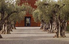 Olive Trees, Mediterranean Landscaping Garden Design Andrea Cochran Landscape…