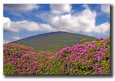 The Sugarloaf, Knockmealdown Mountains in County Tipperary. In Rhododendron flowering season in June. Waterford Ireland, Magical Home, Irish Celtic, Places Ive Been, To Go, June, Spaces, Vacation, Mountains