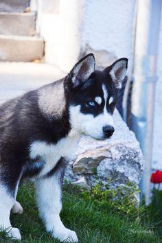 Richnavská Photography  dog  love sibirsky husky
