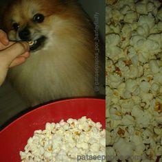 #harley : Valeu tia Duda!!!!! Amo pipoca que nem a mamis!!! / / / / / Thanks aunt Duda !!!!! Love popcorn like my mom! !!! _______________________________________ #amo #animals #adorable #beautiful #cute #cachorro #dog #dreamdog #dogslife #pet #perro #pretty #petlove #petstagram #pom #pomeranianpuppy #popcorn  #love #likeit #life #fluffy #instapom #instaanimal #instacute #patasepapos #follow #showcasing_pets