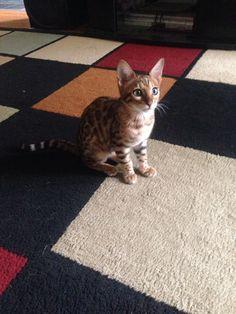 Savannah Tondreau :) my beautiful Bengal Kitty <3
