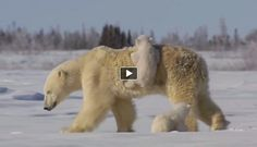 Polar bears are one of the biggest and strongest animals in the world. They are fearless and will do anything to get some food. In this video you can see how polar bear cubs are attached to their parents. Watch them cuddle and play with their giant mother in the snow. This video was filmed in northern Manitoba, Canada by professional wildlife photo and videographer Andrew Manske.