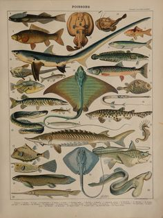 "Antique Fish print.1898 chromolithograph 116 year old print.Antique French book plate.12.1x9.2"",31x23cm.Vintage fishes engraving."