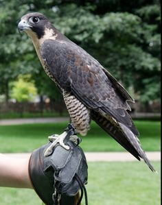 A visitor at the Arts Fest Children's Day Team Building Program, Ag Science, Peregrine Falcon, Animal Help, Nature Center, Child Day, Birds Of Prey, Farm Animals, Bald Eagle