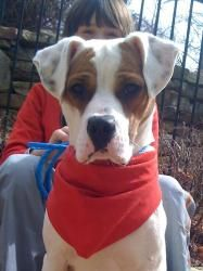 Captain is an adoptable Boxer Dog in Alpharetta, GA. Hi future mom/dad, my name is Captain and I am a 6-8 month old boxer pup. I have had a really rough start at life but with my BIG goofy personality you would never guess! I was born deaf, got hit my car and left for dead with 2 broken legs. I have had surgery on my legs and I am recovering very nicely and we will be ready for my new home soon so come meet me. I am a HUGE sweet love. I LOVE kids and other dogs.