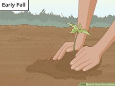 How to Plant Cherry Seeds (with Pictures) - wikiHow Cherry Tree From Seed, Growing Cherry Trees, Planting Cherry Seeds, Growing Plants, Growing Vegetables, Vegetable Bed, Comment Planter, Peat Moss, Sour Cherry