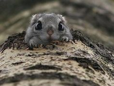Momonga, the Japanese Dwarf Flying Squirrel, is a little surprised to see you.