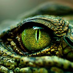 """'Eye of the Crocodile [iPad / Phone cases / Prints / Decor]' Photographic Print by Didi Bingham - Very green Alligator. I have no idea why I consider this picture for """"art nouveau in nature"""", b - Les Reptiles, Reptiles And Amphibians, Beautiful Creatures, Animals Beautiful, Cute Animals, Green Animals, Macro Photography, Animal Photography, Travel Photography"""