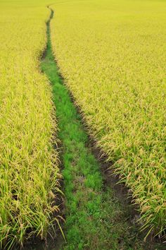 Japanese rice fields