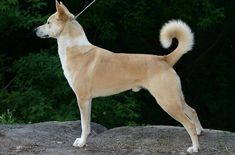 The Canaan Dog (pronounced kay-nen) is one of the oldest known breeds of dog in existence today. The breed gets its name from the region of Canaan, which today encompasses Israel and Palestine, and started off as a free-roaming feral breed.