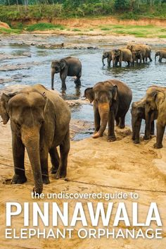 Watch elephants bathing at #Pinnawala Elephant Orphanage in Sri Lanka.  Check out our guide at http://www.undiscovered.guide/sri-lanka/kandy/sights-and-activities/pinnawala-elephant-orphanage #SriLanka