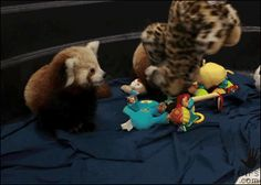 Red panda awareness thread! - The Something Awful Forums