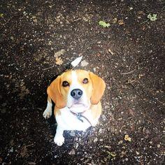 Did you say treat  #beagle