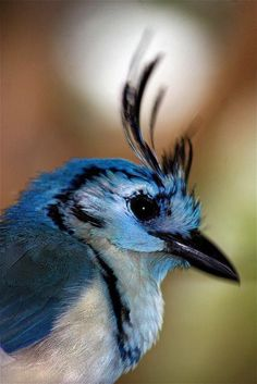 White-Throated Magpie Jay, Isla de Ometepe, Nicaragua ~ Photography by Elicia Bolton