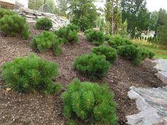 Vuorimänty on sopiva kasvi sitomaan rinnettä. Garden, Plants, House Exterior