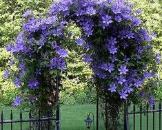 clematis vine on an arbor