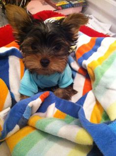 yorkie puppy Biewer Yorkie, Yorkie Puppy, Mini Yorkie, Maltipoo, Yorshire Terrier, Terrier Breeds, Cute Puppies, Cute Dogs, Baby Animals