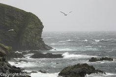 Stormy day with solans (gannets) at Noness, Shetland