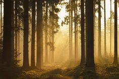 600-07357259� Michael BreuerModel Release: NoProperty Release: NoSpruce Forest in Early Morning Mist at Sunrise, Odenwald, Hesse, Germany