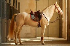 Stunning Lusitano. This horse is beautiful !<3 very good muscle too structure too !!