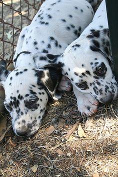 Dalmatian Puppy 002    Like and repin please :)