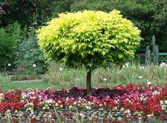Zastosowanie kolorów w ogrodzie: barwna rabata z begonii jest tłem dla drzewa o jasnozielonych liściach Begonia, Park, Garden, Plants, Garten, Parks, Planters, Plant, Gardens