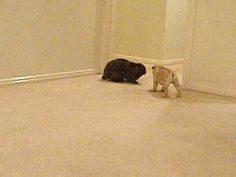 Pug puppy playing with a house rabbit.  Omg the rabbit is bigger than the puppy!