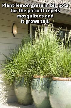 Lemon Grass pots on the deck repels mosquitoes and grows tall. #LandscapingPlans