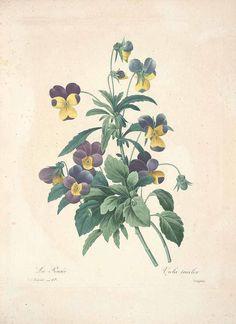El Blog de La Tabla: Tiempo de Violas de jardin