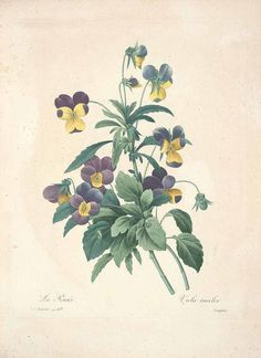 violet botanical print Redoute