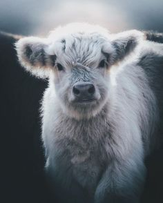 32 charming animal pictures that you do not want to miss - Tiere Bilder - Animals Wild Cute Baby Cow, Baby Cows, Cute Cows, Baby Farm Animals, Baby Elephants, Cute Little Animals, Cute Funny Animals, Fluffy Cows, Fluffy Animals