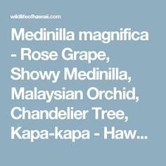 Medinilla magnifica - Rose Grape, Showy Medinilla, Malaysian Orchid, Chandelier Tree, Kapa-kapa - Hawaiian Plants and Tropical Flowers