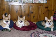 A place for every Corgi, and every Corgi in its place.