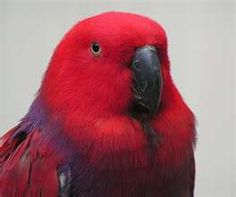 Looks like my baby too. Female Eclectus. More docile then the male. So nice to be able to tell the sex apart  without dna.