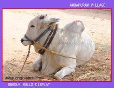 Ongole Bull Image :: OngoleBull ::