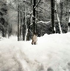 Frøya my norwegian lundehund