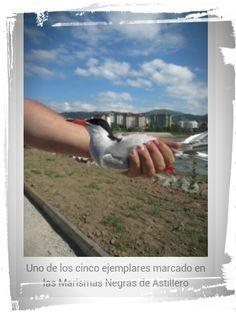 La compañía energética Viesgo colabora con SEO/BirdLife en la conservación del charrán común en la bahía de Santander