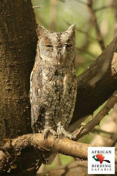 African Scops Owl thanks to African Birding Safaris. More photos and information about these owls here --> http://owlpag.es/4t