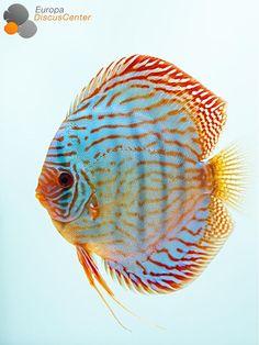 Brilliant Türkis Diskus #discus #diskusfische #diskus #aquarium #freshwater #EuropaDiscusCenter #discusfarm