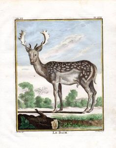 """"""" le Daim """" , 1766. Copper engraving, Antique Hand Colored Print, Buffon Natural History. Measures 10 x 8 inches. 27 x 22 cm."""