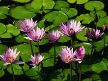 these water lilies will grow just about anywhere and your pond only needs to be a foot deep for them to attach their roots. Adore You, Praise And Worship, Miami Beach, World, Create, How To Make, Lotus Flowers, Water Flowers, Pretty Flowers